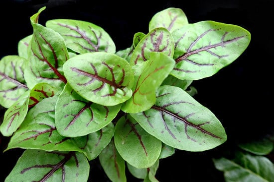 Best Perennial Herbs Garden Plants Sorrel