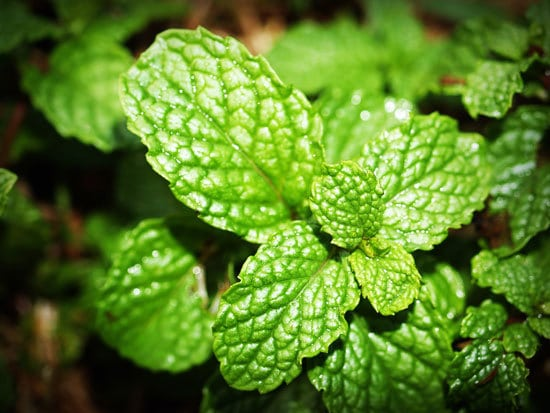 Best Perennial Herbs Garden Plants Spearmint