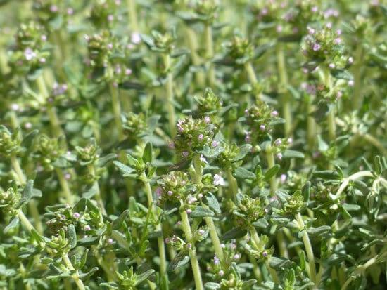 Best Perennial Herbs Garden Plants Thyme