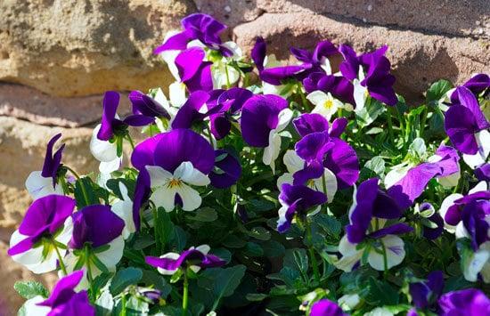 Best Perennial Herbs Garden Plants Viola