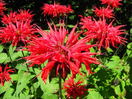 Flowering Herb Plants Bee Balm