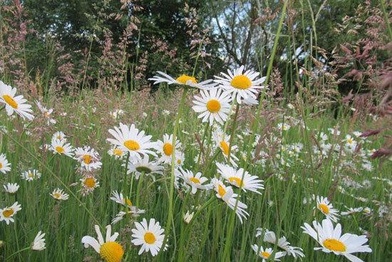 Flowering Herb Plants Chamomile