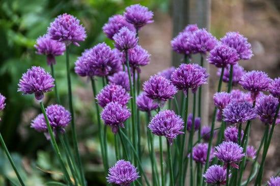 Flowering Herb Plants Chives