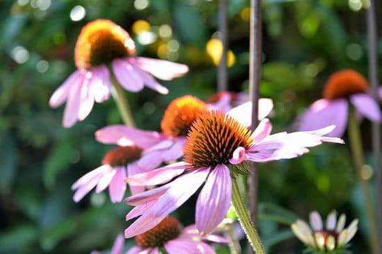 Flowering Herb Plants Echinacea