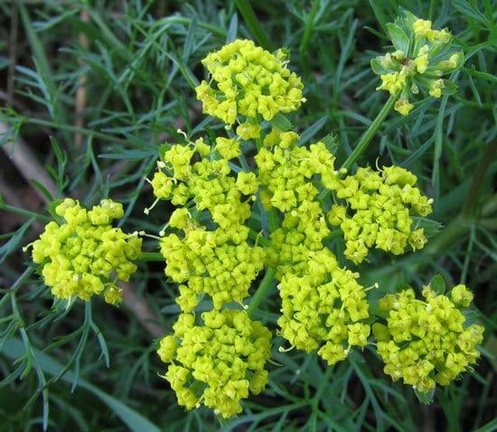 Flowering Herb Plants Fennel