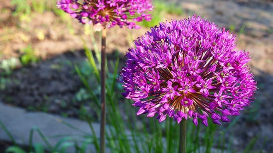 Flowering Herb Plants Garlic