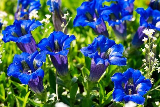 Flowering Herb Plants Gentian