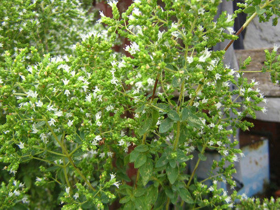 Flowering Herb Plants Greek Oregano