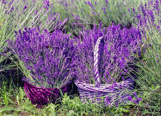 Flowering Herb Plants Lavender