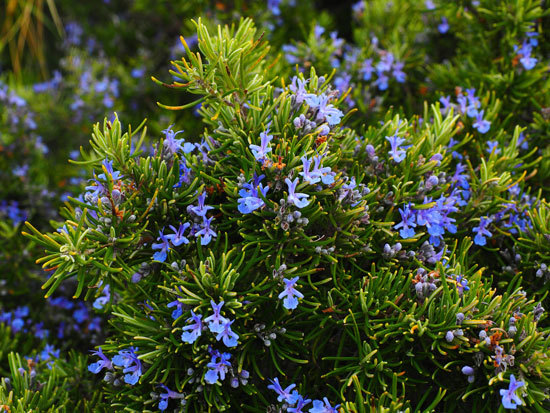 Flowering Herb Plants Rosemary