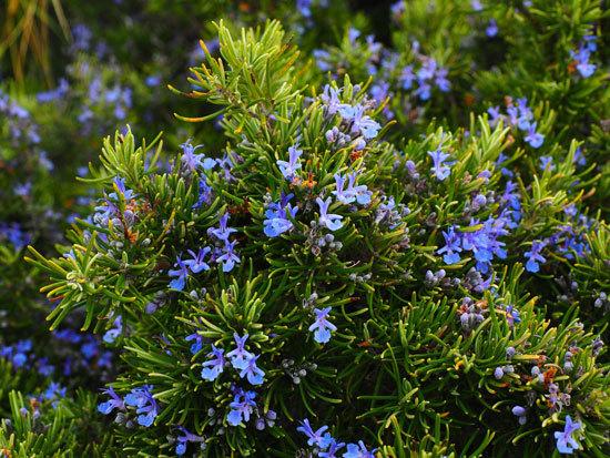 Flowering Herb Plants Rosemary