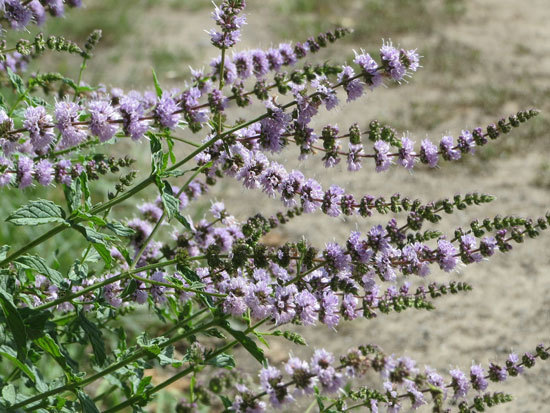 Flowering Herb Plants Spearmint