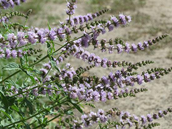Flowering Herb Plants Spearmint