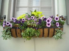 Flowers for Window Boxes