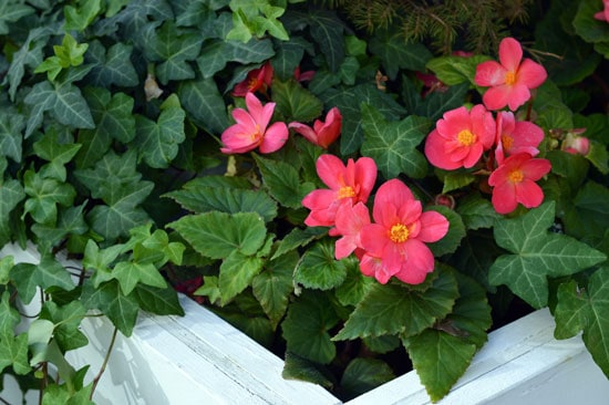 Flowers for Window Boxes Begonias