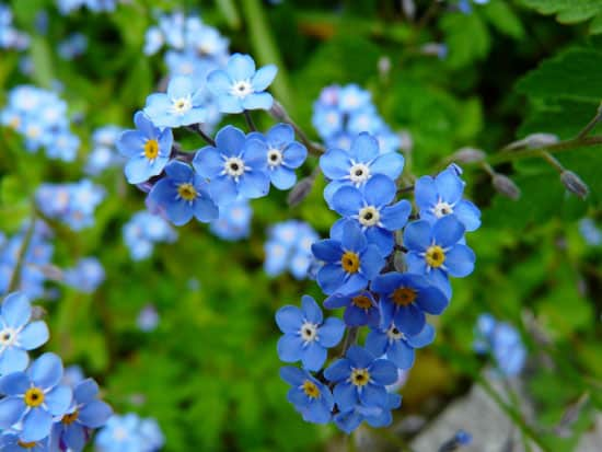 Flowers for Window Boxes Forget Me Nots