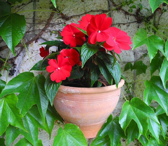 Flowers for Window Boxes Impatiens