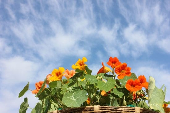 Flowers for Window Boxes Nasturtiums