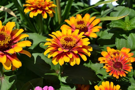 Flowers for Window Boxes Zinnia