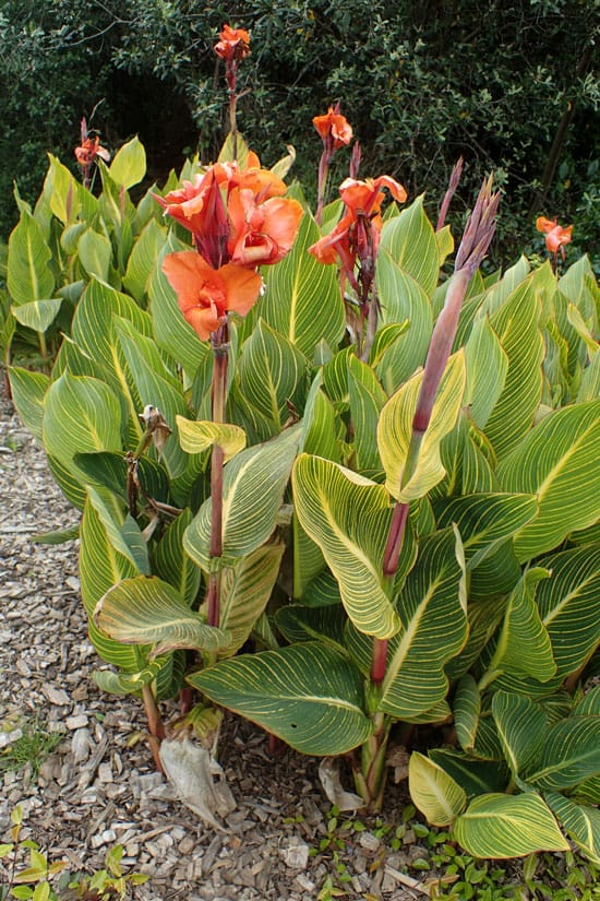 Pretty Flowering Tall Perennials Canna