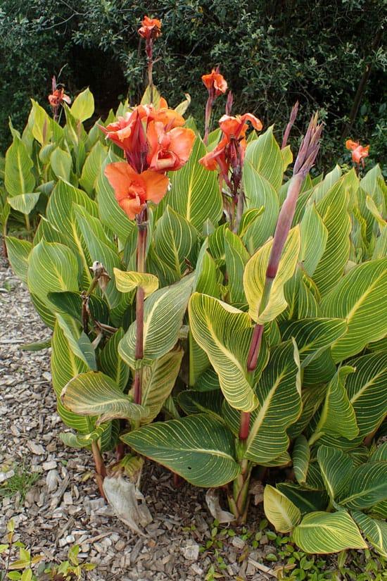 Pretty Flowering Tall Perennials Canna