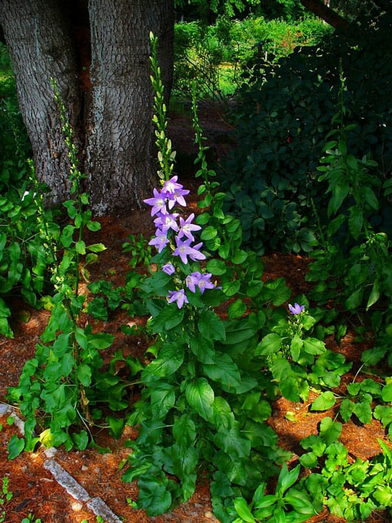 Pretty Flowering Tall Perennials Chimney Bellflower
