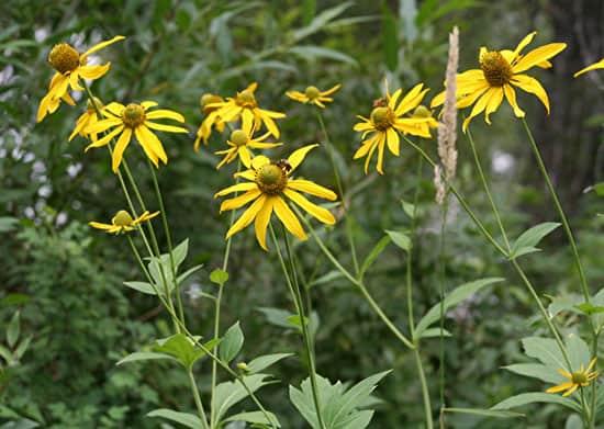 Pretty Flowering Tall Perennials Cutleaf Coneflower