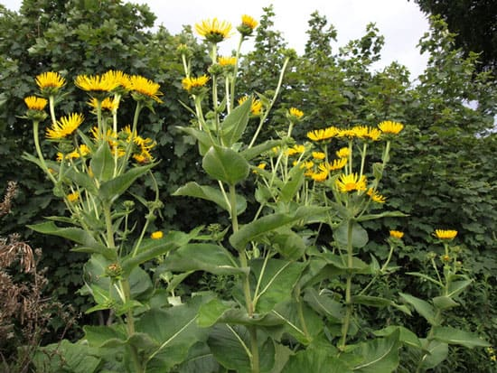 Pretty Flowering Tall Perennials Elecampane