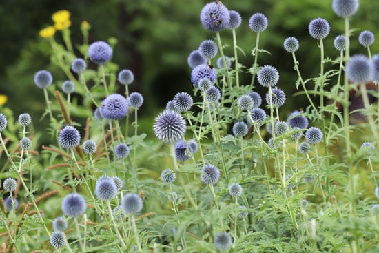 Pretty Flowering Tall Perennials Globe Thistles