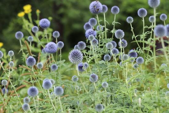 Pretty Flowering Tall Perennials Globe Thistles