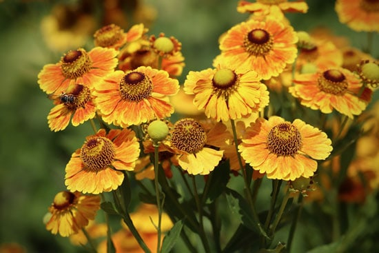 Pretty Flowering Tall Perennials Helenium Sneezeweed