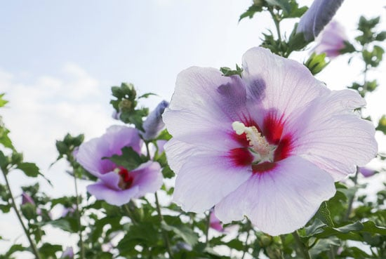 Pretty Flowering Tall Perennials Hibiscus