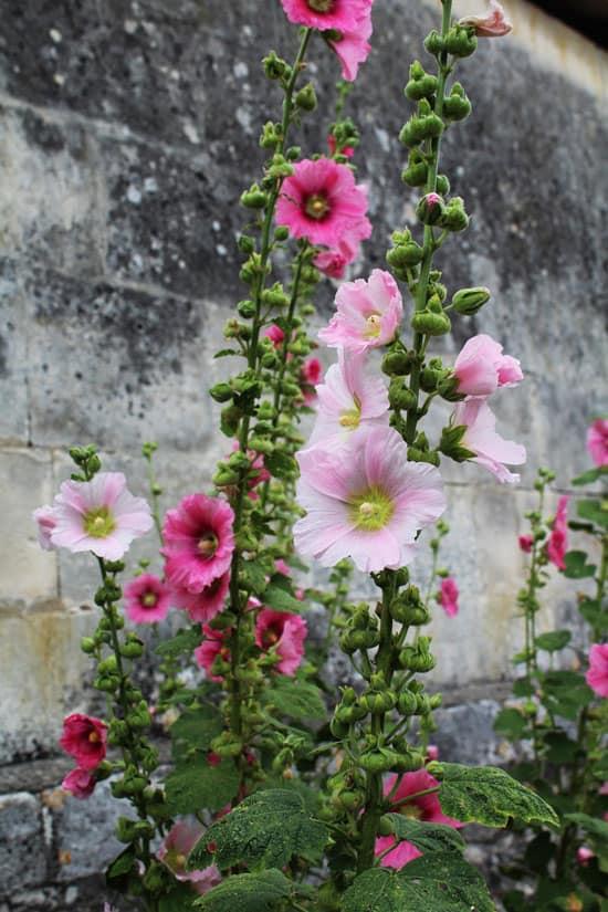 Pretty Flowering Tall Perennials Hollyhock