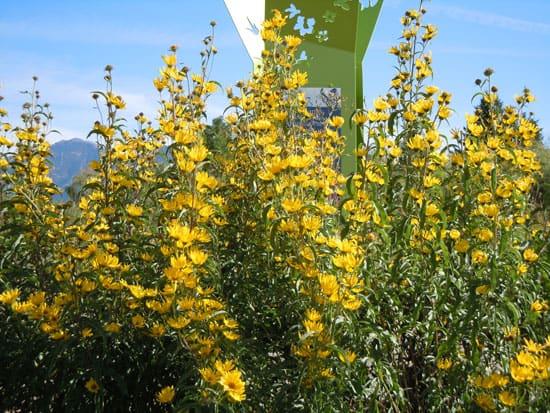 Pretty Flowering Tall Perennials Maximillian Sunflower