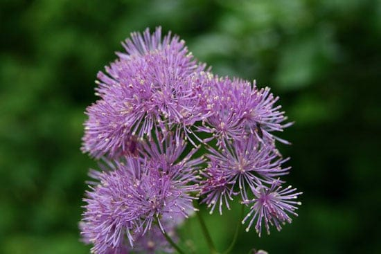 Pretty Flowering Tall Perennials Meadow Rues