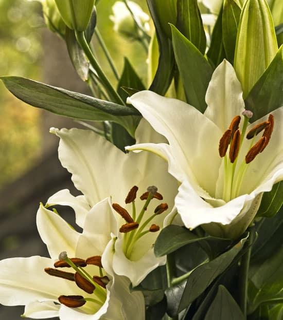 Pretty Flowering Tall Perennials Oriental Lily