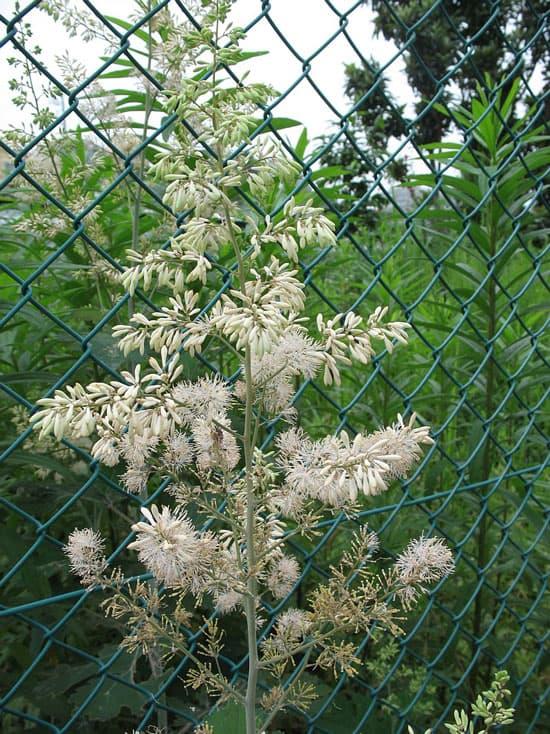 Pretty Flowering Tall Perennials Plume Poppy
