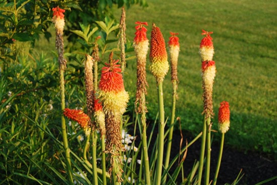 Pretty Flowering Tall Perennials Red Hot Poker