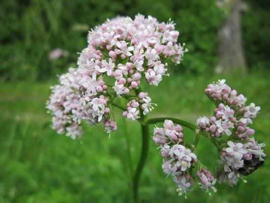 Pretty Flowering Tall Perennials Valerian