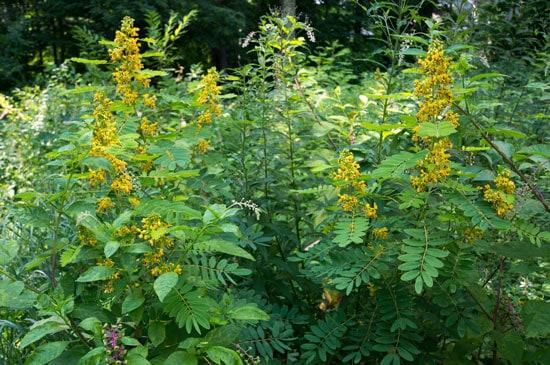 Pretty Flowering Tall Perennials Wild Senna