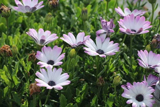 Wind Tolerant Flowers for Home African Daisies