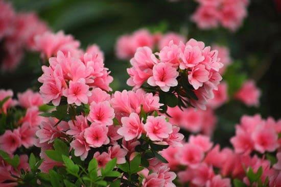 Wind Tolerant Flowers for Home Azalea