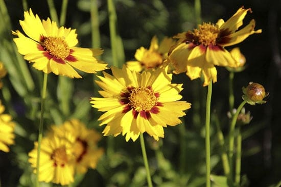Wind Tolerant Flowers for Home Coreopsis 1