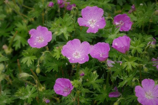 Wind Tolerant Flowers for Home Geranium
