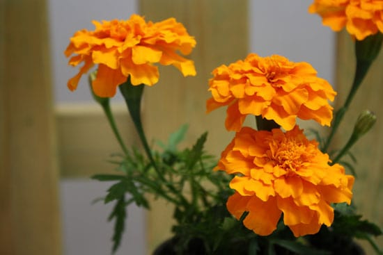 Wind Tolerant Flowers for Home Marigold