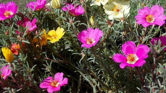 Wind Tolerant Flowers for Home Portulaca