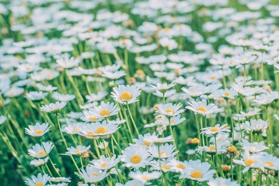 Wind Tolerant Flowers for Home Shasta Daisy