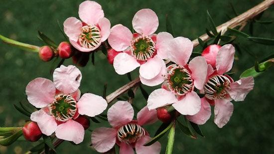 Wind Tolerant Flowers for Home Tea Tree
