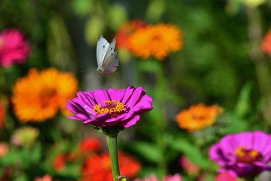Wind Tolerant Flowers for Home Zinnia