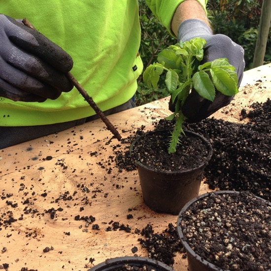 Are Coffee Grounds Good For Roses